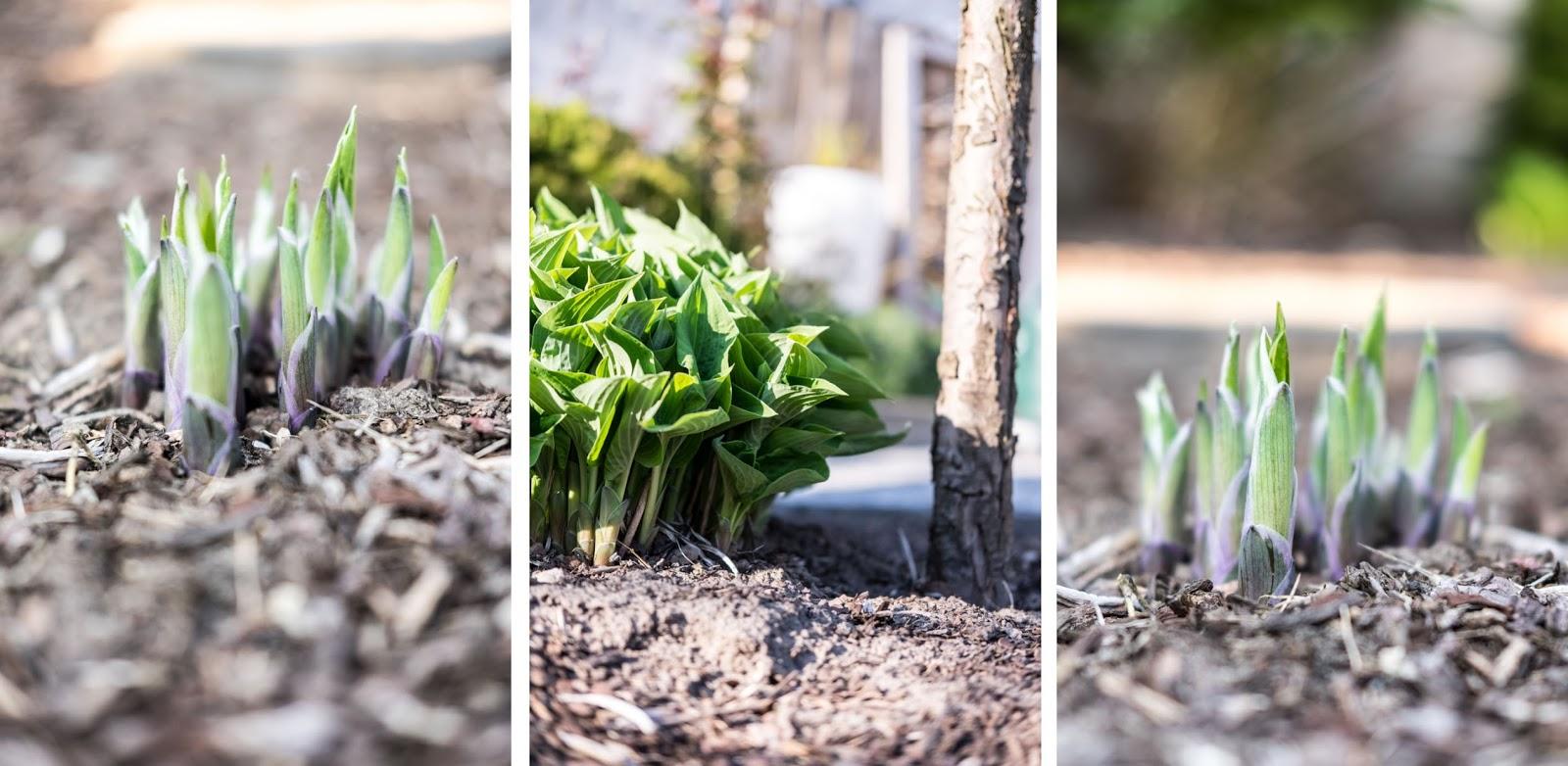 fim.works, ein Lifestyle Blog | Funkien, Hosta, Gartenbeet, knospende Grünpflanzen