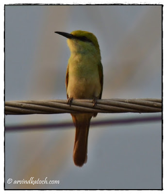 Bee-Eater Bird, Green Bee-eater, Juvenile