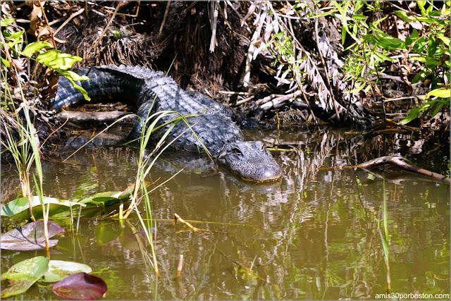 Caimán en el Parque Nacional de los Everglades en Florida