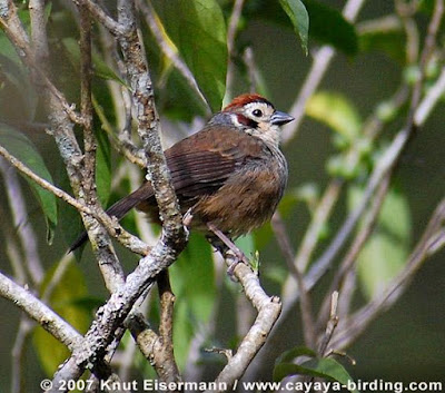 Prevost´s ground Sparrow
