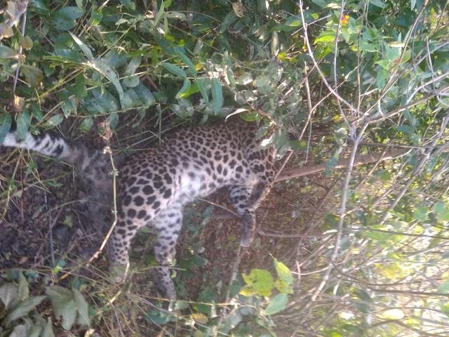 पन्ना के शाहनगर वन क्षेत्र की टिकरिया बीट में युवा तेंदुआ का शव झाड़ियों में पड़ा मिला.. युवा तेंदुआ की मौत से वन्य प्राणियों की सुरक्षा इंतजामों पर लगा प्रश्न चिन्ह.. फंदे में फंसा कर हत्या की आशंका से हड़कंप..
