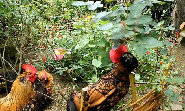 Polish hen eating rose petals - organic forest garden