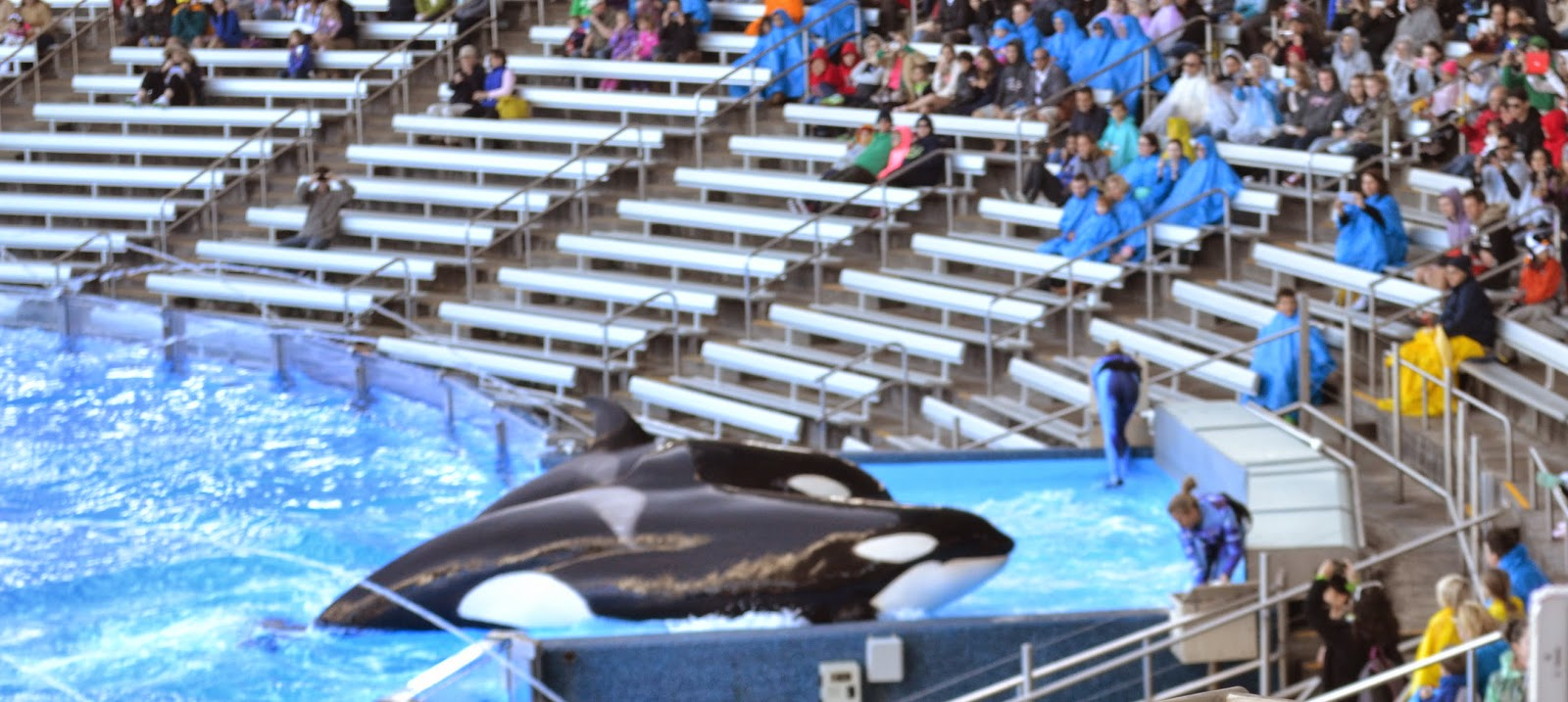 Killer whales show at Seaworld Orlando