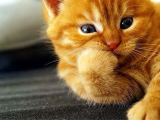 Gambar Wallpaper Kucing Lucu Banget 200014