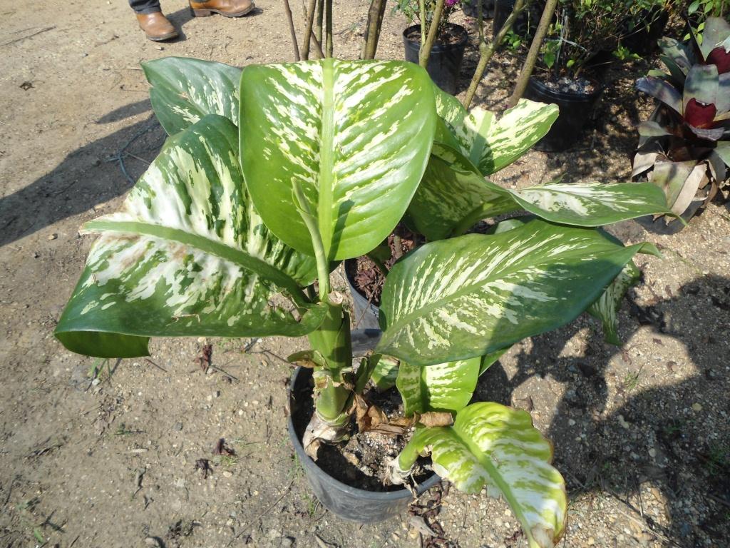 Jardineiro plantas for Planta ornamental venenosa dieffenbachia