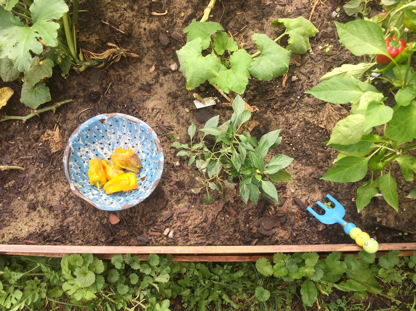 Golden Skies: Vegetable Garden : Deer and Our First Harvest