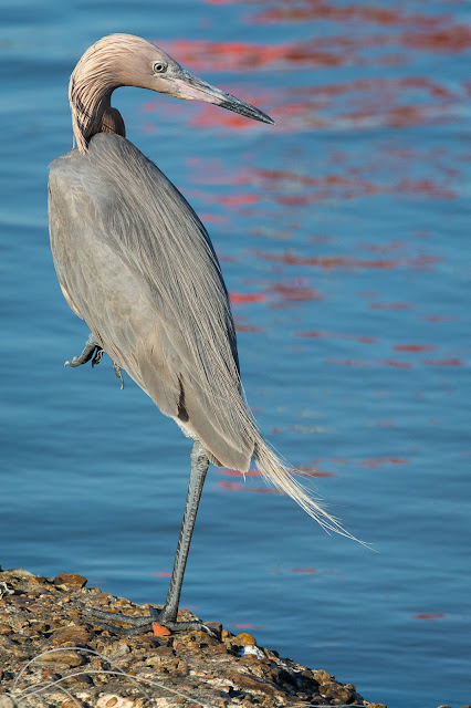 Reddish Egret, East End Galveston