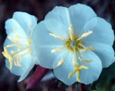 bunga melati yang indah dan langka