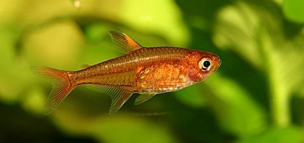 Ember Tetra - Cara Budidaya Ikan