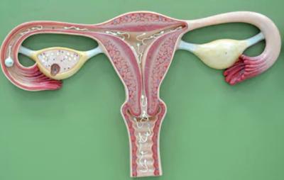 Reproduksi Perempuan : Organ Reproduksi Luar dan Organ Reproduksi Dalam