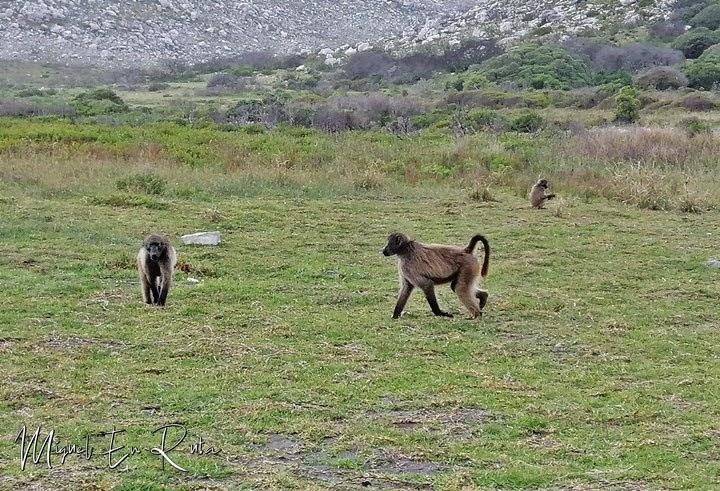 Babuinos en el Cabo de Buena Esperanza