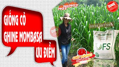 Những ưu điểm nỗi trội của giống cỏ ghine mombasa