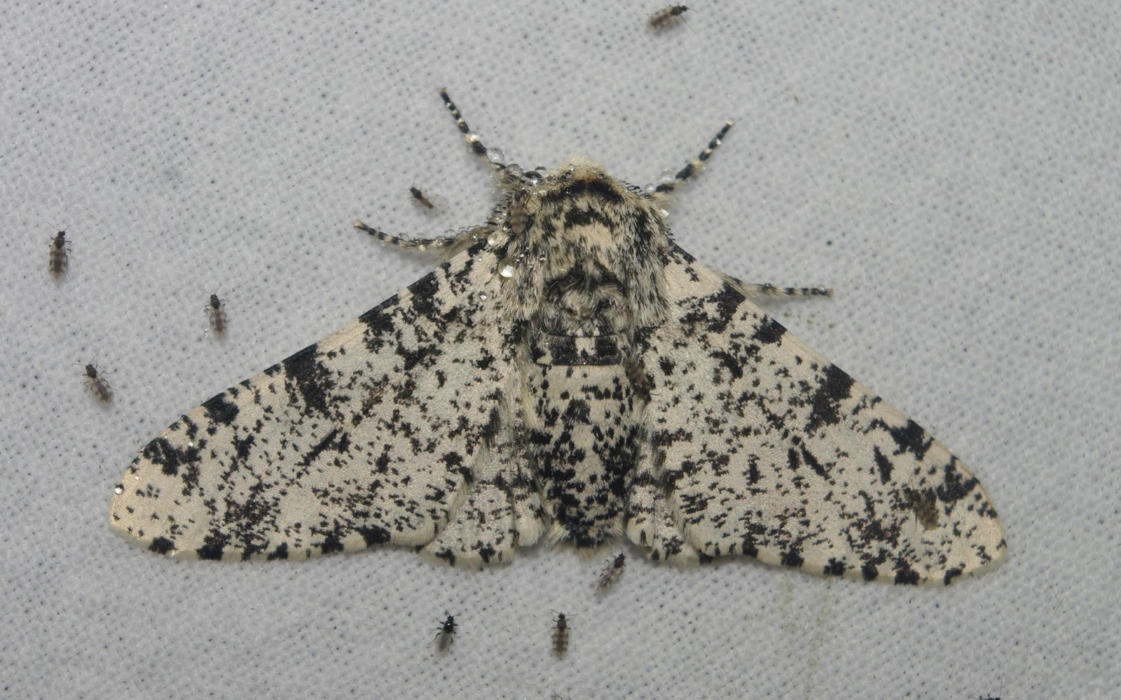 the peppered moth These peppered moths offer an iconic example of natural selection, or evolution at work a single altered gene explains the black wings (left), new data show.