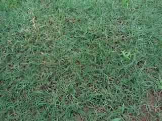 beberapa jenis rumput taman yang di pakai membuat taman