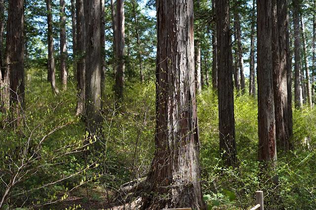 伊勢神宮御用材級の太さがある木曽桧群