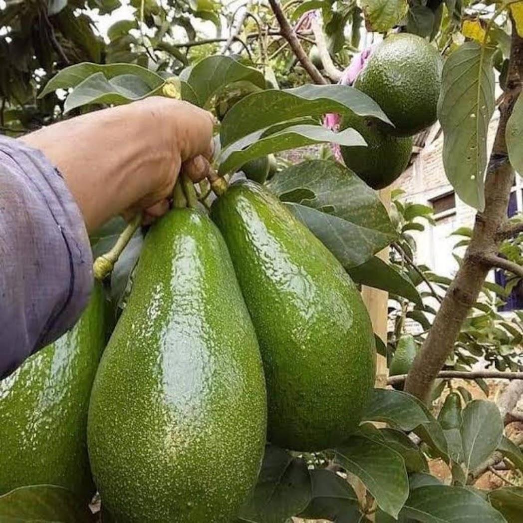 Bibit Pohon Alpukat Aligator bisa berbuah dlm pot Serang