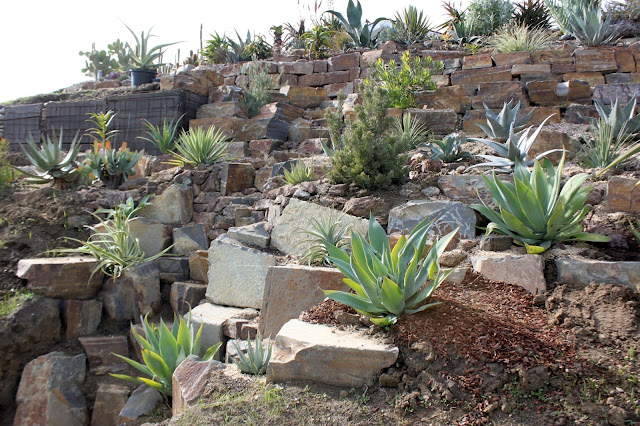 Hillside garden with several agave