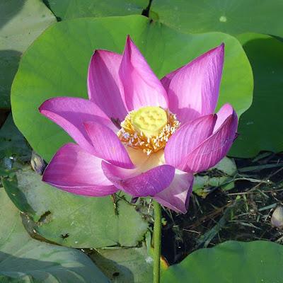 山田池公園 蓮の花