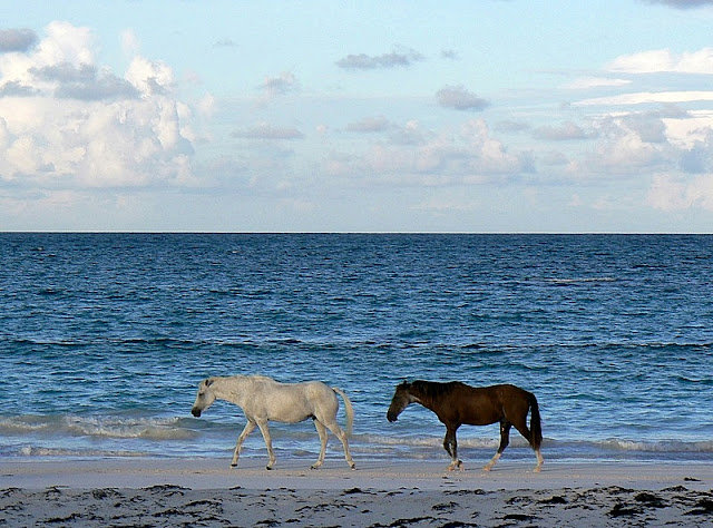 Wild Horses on the Beach on Assateague Island National Service