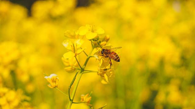 菜の花,浜離宮恩賜庭園,蜂