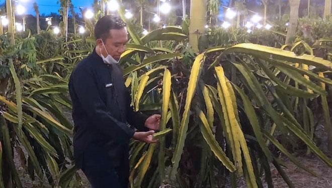 Banyuwangi penghasil buah naga terbesar di Indonesia