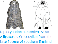 https://sciencythoughts.blogspot.com/2019/09/diplocynodon-hantoniensis-alligatoroid.html