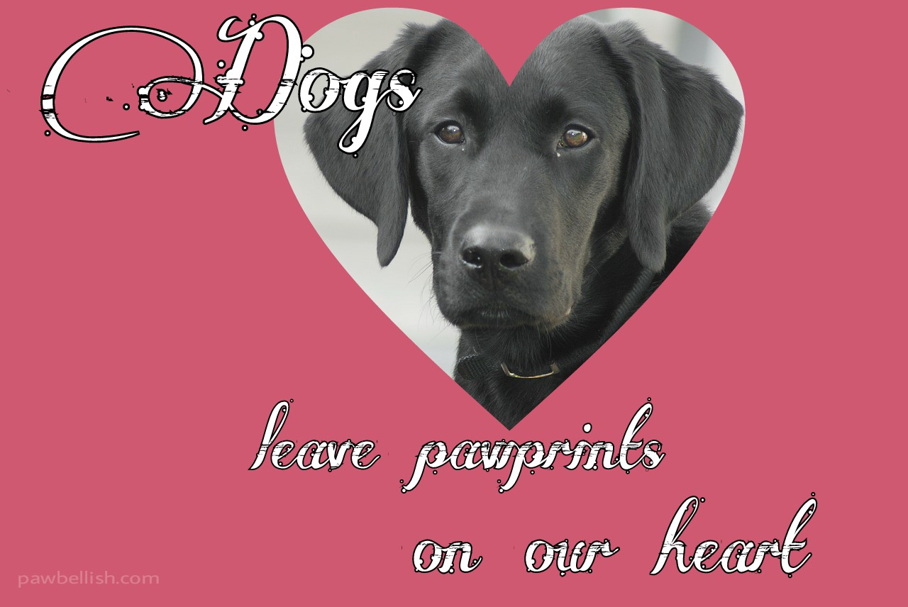Black labrador with quote, dogs leave footprints on our heart