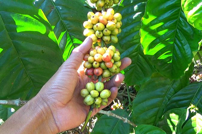 Dlium Robusta coffee (Coffea canephora)