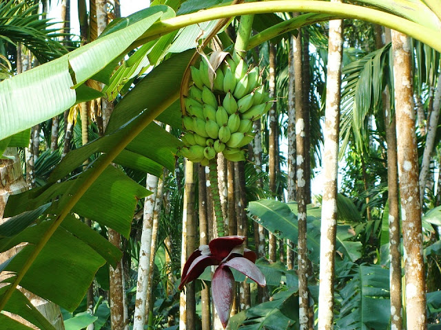 How To Start A Lucrative Plantain Farming Business In Nigeria