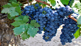 zinfandel grapes fruit