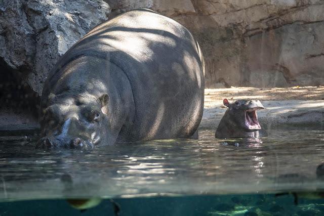 Bebé Hipopótamo