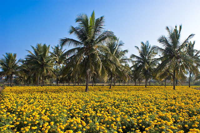 Intercropping of Coconut Tree and Mexican Marigold