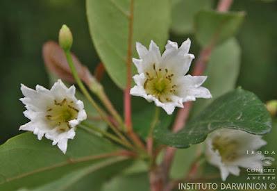 flora yungas Talilla (Crinodendron tucumanum)