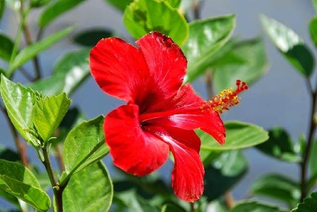 disebut juga sebagai kembang wera dalam bahasa sunda Manfaat Bunga Sepatu untuk Pengobatan Tradisional