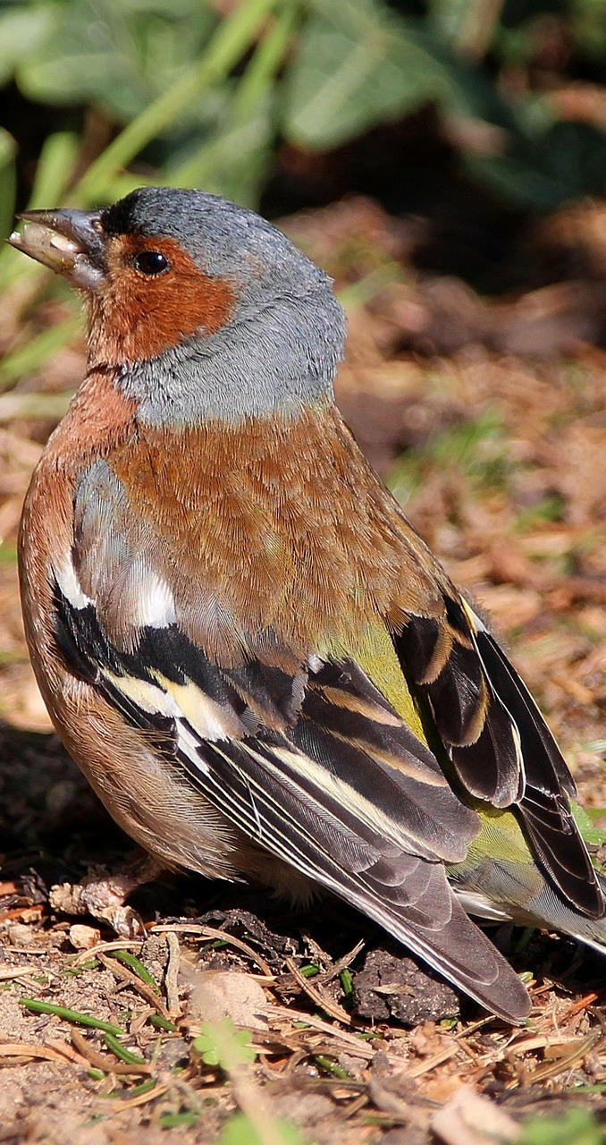 A mouth full chaffinch.