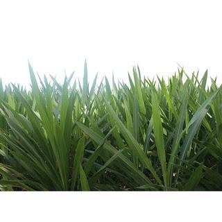 gambar rumput odot (Pennisetum Purpureum Cv Mott)
