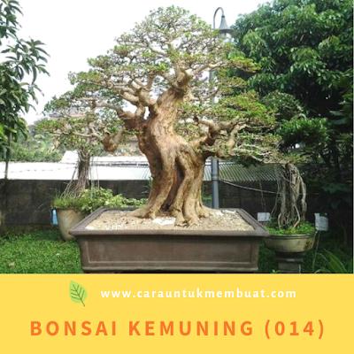Bonsai Kemuning (014)