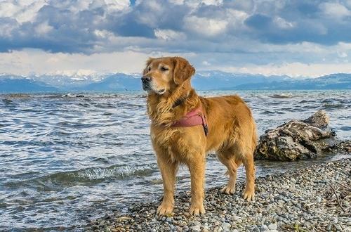 سعر كلب جولدن عمره شهرين