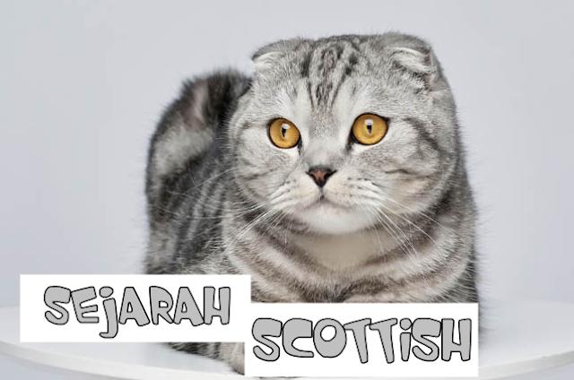 Mengenal Kucing Scottish Fold Salah Satu Ras Kucing Terlucu Didunia