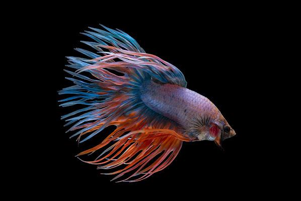 Betta Fish Breeding