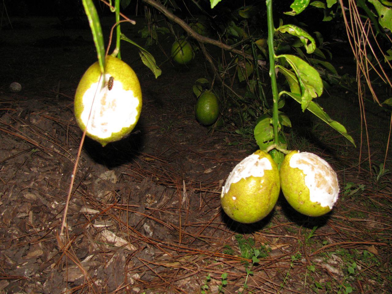 Mutterings from Maryville: Pesky possums lovin' lemons
