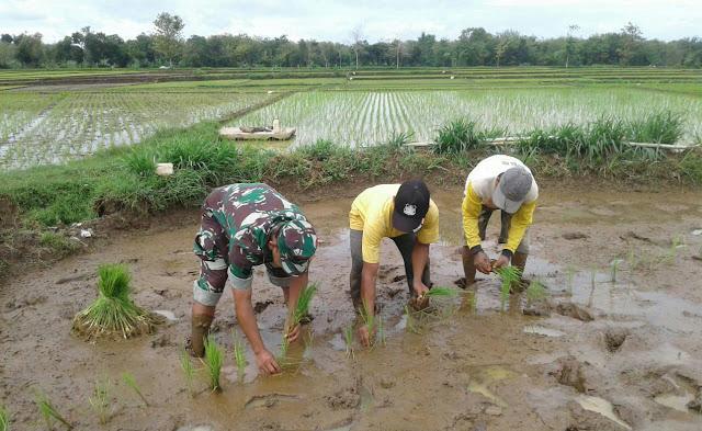 Kodim Karanganyar – Sukseskan Swasembada Pangan, Babinsa Gedong Lakukan Pendampingan Upsus