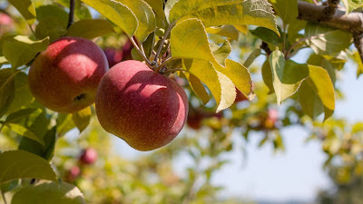 Red apples, fruits, twig, ripe, harvest