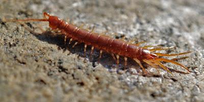 ωφέλιμα έντομα-Σαρανταποδαρούσα