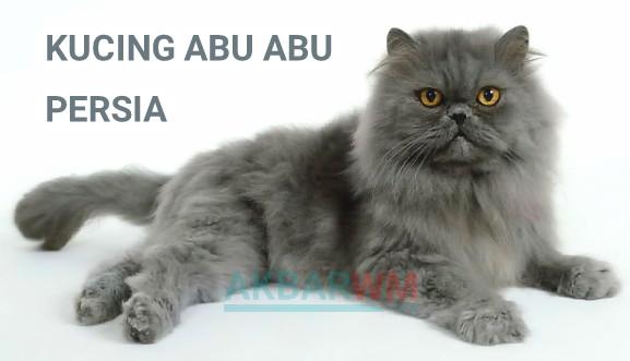 Kucing abu abu persia