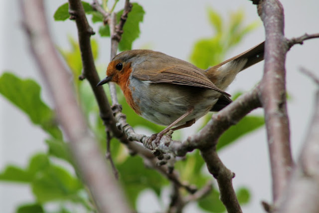 Robin on tree