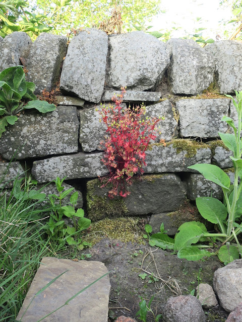 Red leaved plant and foxglove leaves in front of grey drystone wall.