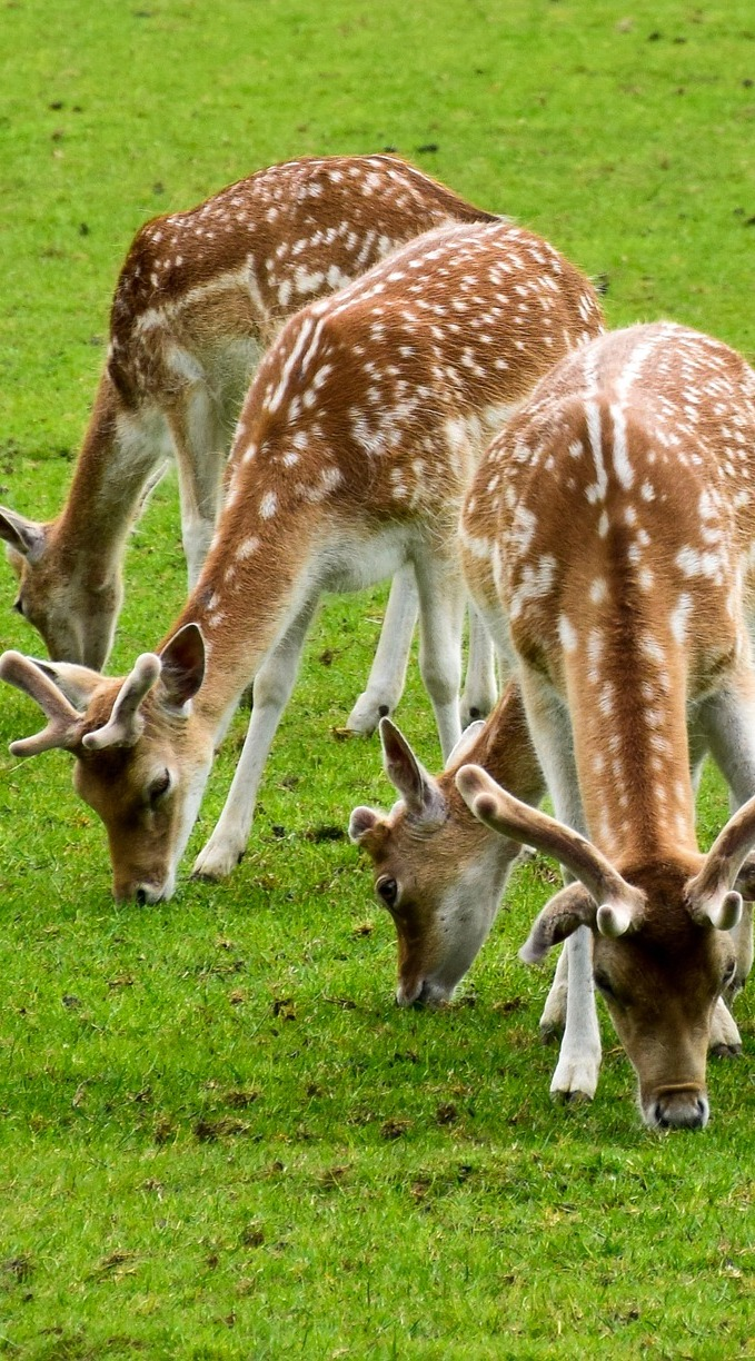 A number of deer grazing together.