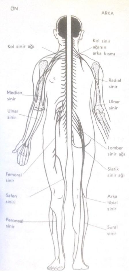 Merkezi Sinir Sistemi Nedir?