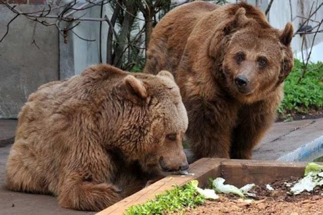 Βόλτες στο κέντρο της πόλης από δυο αρκουδάκια